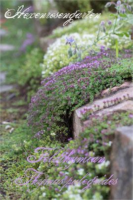 Hexenrosengarten Kräuter Feldthymian Thymus pulegoides Blüte weiß lila