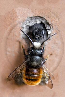 Männchen der Roten Mauerbiene (Osmia bicornis) beim Warten auf ein schlüpfendes Weibchen. Typisch für Männchen sind die langen, gebogenen Fühler und die weiße Irokesenbürste