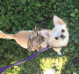 クローバーとリュックを背負った犬の画像