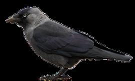 Krähenabwehr Rabenkrähe