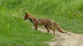 Zel-Puszta Fuchs