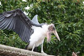 Quel est le nom de ce drôle d'oiseau à jabot ?