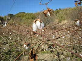 鴨川和棉農園の綿花(和棉)