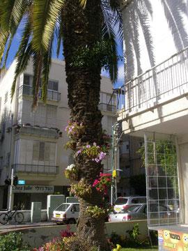 31 декабря 2009 ИЗРАИЛЬ г Тель-Авив  украшенное цветами дерево