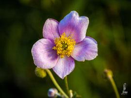 Anemone japonica-Herbstanemone
