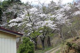 櫻の季節はキレイですよ。ちょっと本数が減ってしまいました(汗)