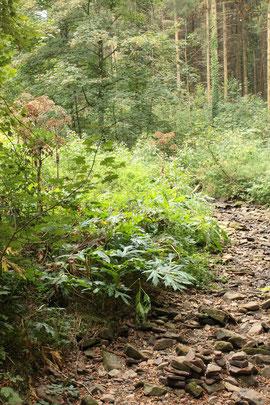 Der Feldrennacher Bach ist fast ausgetrocknet - an seinem Ufer der invasive und giftige Neophyt, Riesen-Bärenklau -  Heracleum mantegazzianum (G. Franke, 04.09.16)