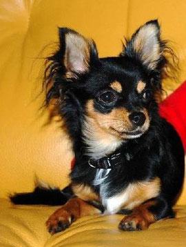 Chihuahua Hündin Lucy