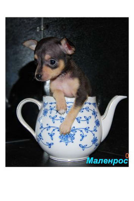 1 мес. Лизкин щенок- Руфус