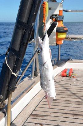 dieser Barracuda wurde sauber abgebissen ... zum Glueck hatten wir nicht den gefraessigen Raeuber an unserer Angel!