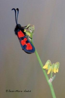 Z. excelsa rosei (Moyen Atlas central)