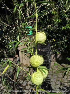Asclépias physocarpa ou Gomphocarpus physocarpus, Portugal