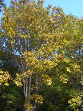 アベマキの黄葉