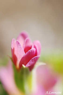 Primevère acaule (Primula vulgaris)