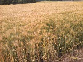 色づいた麦