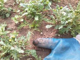 草の間から芽を伸ばすカモミール