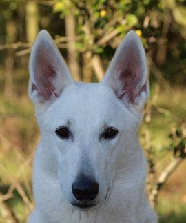 Arjuna von den Weissen Wupper Wölfen - 2 Jahre alt