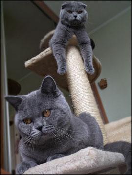 O Hodowli Perła Kujawpl Hodowla Kotów Brytyjskich I Szkocki Fold