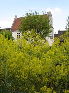 Le jardin envahi par le pastel (cette plante jaune donne une teinture bleue, la plus appréciée des couleurs au Moyen-âge)
