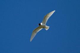 SCHWARZKOPFMÖWE Wasservögel