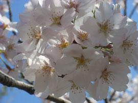 小町通りと並行する段葛は桜のトンネル