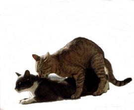 Paarungen - Liste - Vererbung der Fellfarben bei Katzen