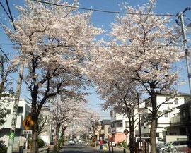 500mにわたる桜のアーチです☆