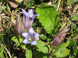 リンドウの花が参道で小さく出迎えてくれています。