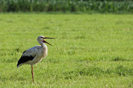 Storch ohne Ring am 24.6.12