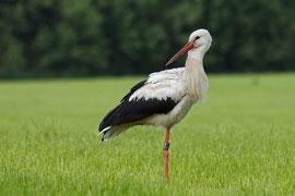 niederländischer Storch NLA 1E358 am 25.6.12