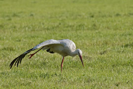 Storch mit Ring Nummer 8X037 am 24.6.12