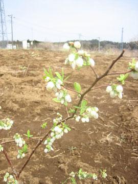 早生品種オニールが開花しました