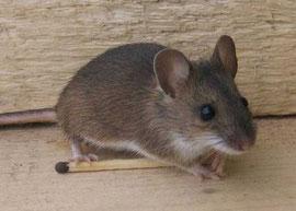 Мышь лесная