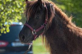 Verkaufspferd, Islandpferde kaufen, isländer in München, Reitbeteiligung, Reiten, reitschule in München