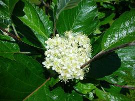 mehlbeerenblüte juni