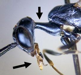 オオコンボウヤセバチの頭部と前胸