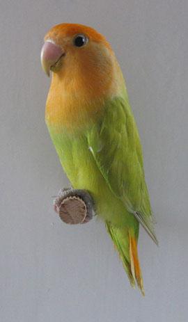 opalino verde ala grigia FA