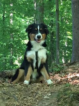 Raider, Australian Shepherd