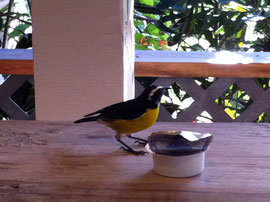 kleiner Sugarbird mit großer Marmelade