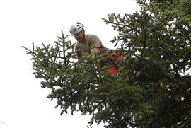 Kronenpflege, Henzelmann Baumpflege Baumschnitt Fällung Spezialfällung Stockfräse Strunkfräse Pflanzung Arbeiten Spiez Bern Oberland Wallis Kanton Baum Bäume