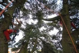 Kronensicherung, Henzelmann Baumpflege Baumschnitt Fällung Spezialfällung Stockfräse Strunkfräse Pflanzung Arbeiten Spiez Bern Oberland Wallis Kanton Baum Bäume