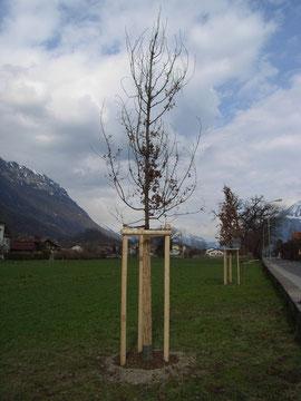 Baumpflanzung, Henzelmann Baumpflege Baumschnitt Fällung Spezialfällung Stockfräse Strunkfräse Pflanzung Arbeiten Spiez Bern Oberland Wallis Kanton Baum Bäume