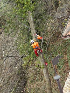 Spezialfällen von Bäumen, Henzelmann Baumpflege Baumschnitt Fällung Spezialfällung Stockfräse Strunkfräse Pflanzung Arbeiten Spiez Bern Oberland Wallis Kanton Baum Bäume