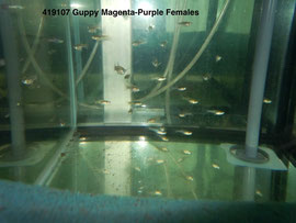 419107-2 Guppy Magenta-Purple Самки