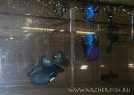 390163 Betta splend.Male BLACK-ORCHID
