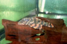L 074-1 Peckoltia sp. Ringlet-Tiger 4-6 cm