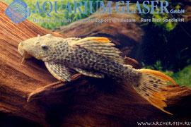 L 114 Pseudoacanthicus leopardus
