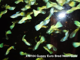 419104 Guppy Euro Bred Neon Gold (самцы)