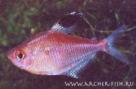 261653 Hyphessobrycon pyrrhonotus