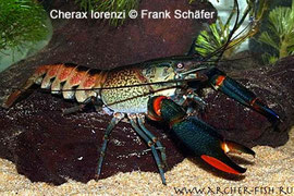 481482 Cherax sp. PAPUA/LORENTZI